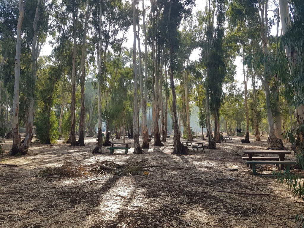The ecalyptus trees of Hadera Forest on the Israel National Trail